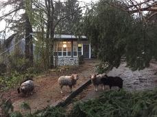 Gli uffici di Dolomiti Contemporanee Progettoborca (con le capre), all'indomani di Vaia (30 ottobre 2018)_Foto Archivio DC