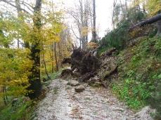Salendo al Forte di Monte Ricco, i faggi secolari, schiantati_30 ottobre 2019